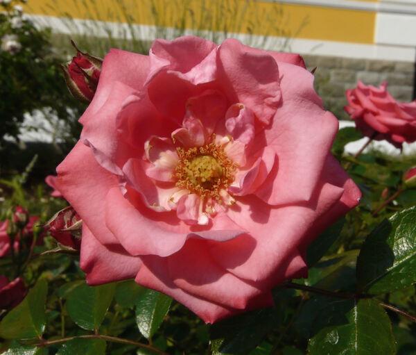Rosa 'Bella Rosa ®'