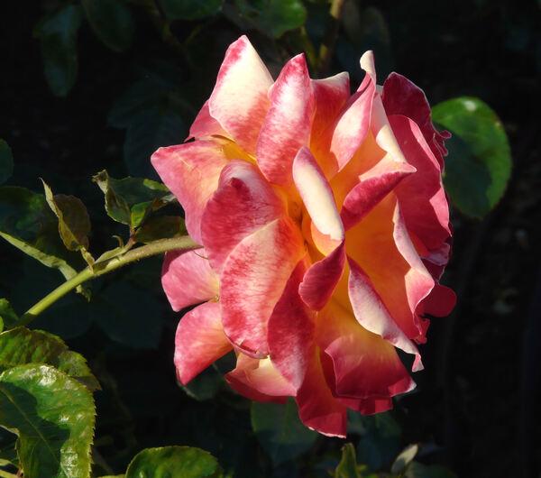 Rosa 'Pullman Orient Express ®'