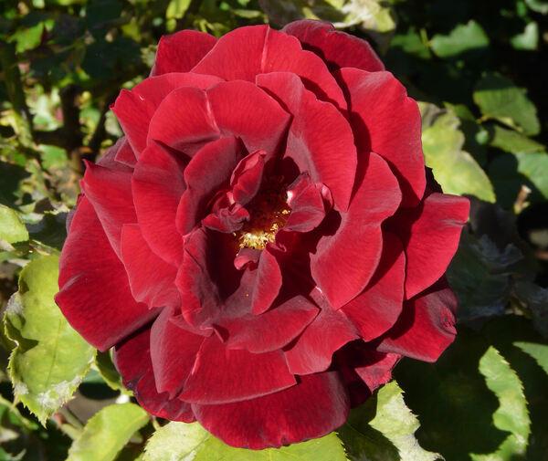 Rosa 'Papa Meilland ®'