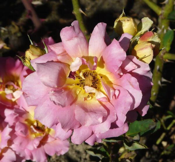 Rosa 'Papilio'