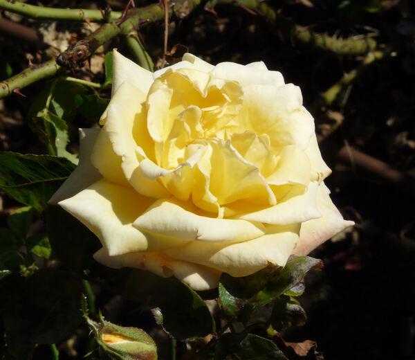 Rosa 'Golden Jubilee'