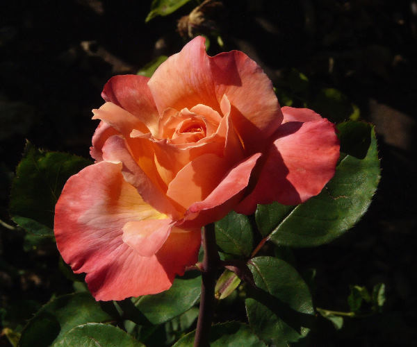 Rosa 'Fascination'