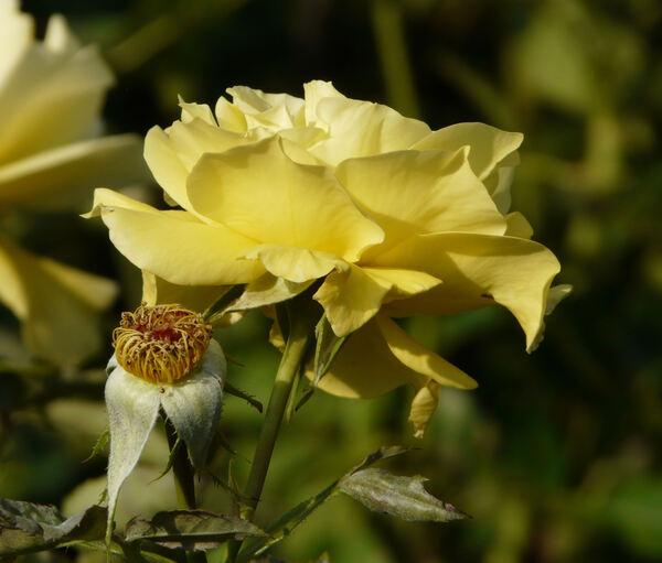 Rosa 'Friesia'