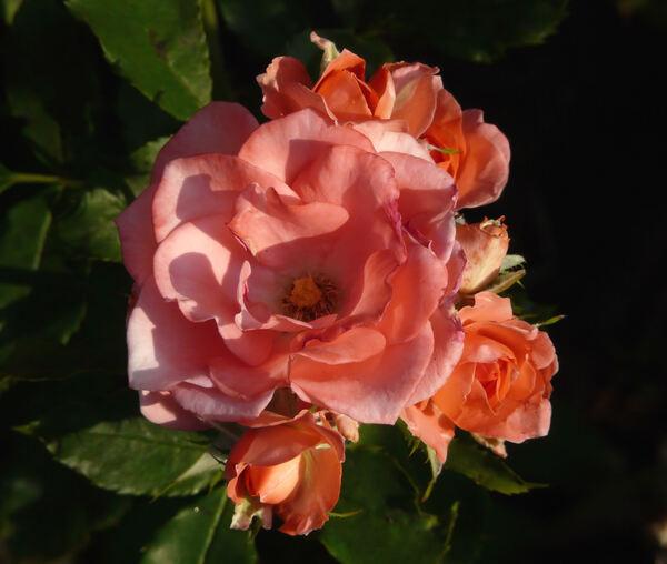 Rosa 'Arnaud Delbard'