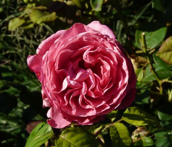 Rosa 'Line Renaud ®'