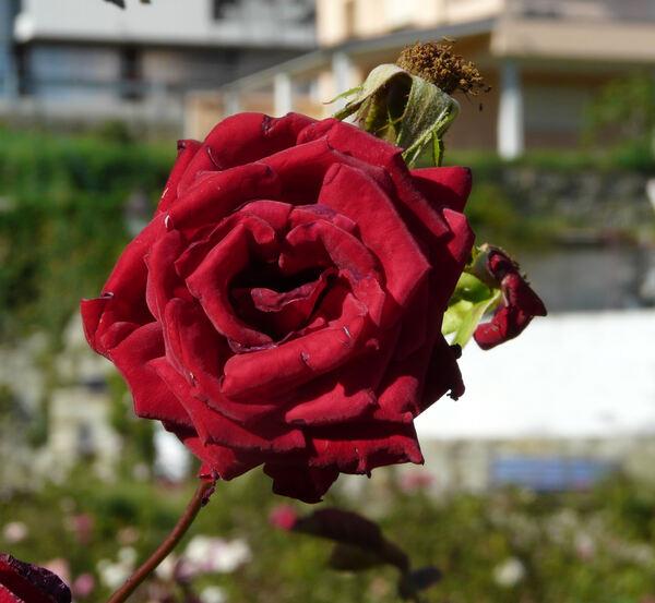 Rosa 'Salambo'