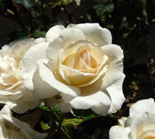 Rosa 'Hélène de Gerlache'