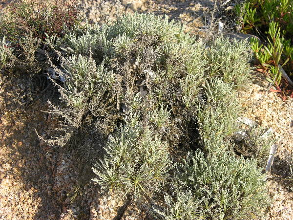Artemisia caerulescens L. subsp. densiflora (Viv.) Kerguélen & Lambinon