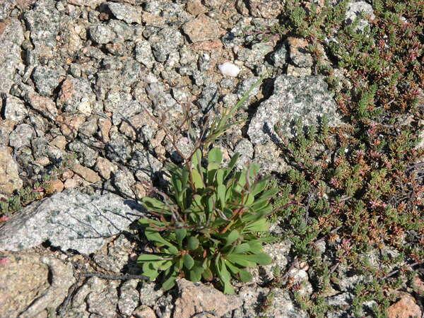 Limonium strictissimum (Salzm.) Arrigoni