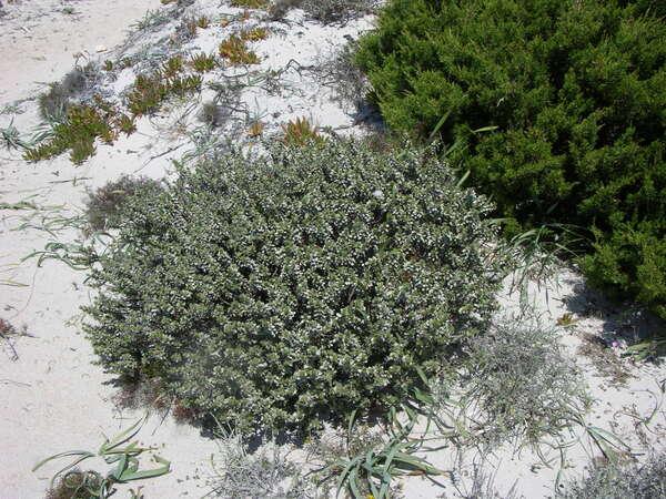 Thymelaea tartonraira (L.) All. subsp. tartonraira