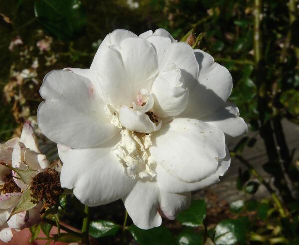 Rosa 'White Dawn ®'