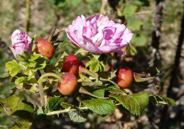 Rosa 'Le Cid'