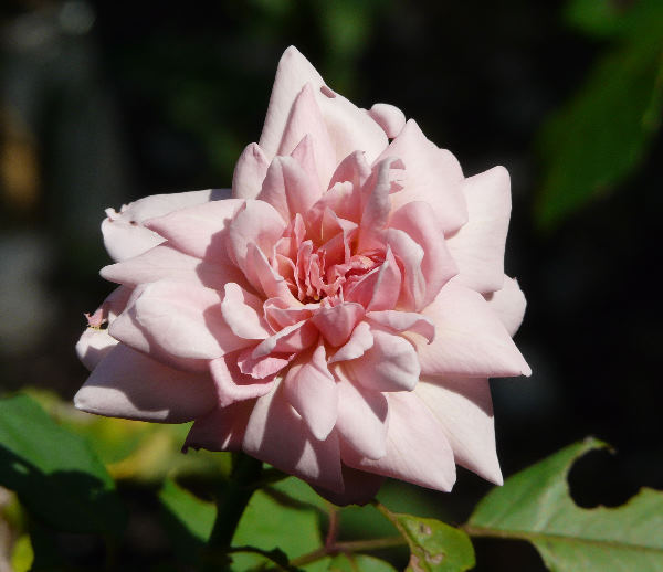 Rosa 'Madame Dailleux'