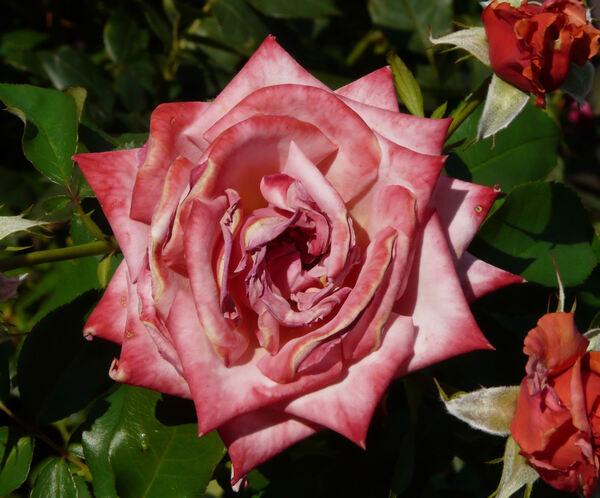 Rosa 'Liv Tyler ®'