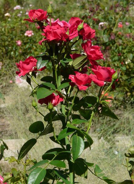 Rosa 'Raoul Follereau ®'