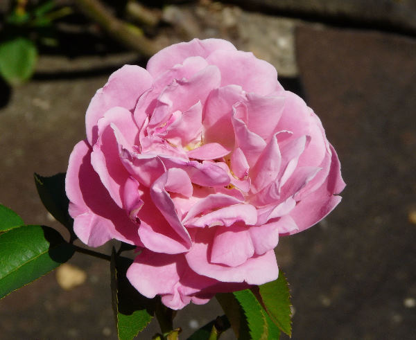 Rosa 'Génération Jardin ®'