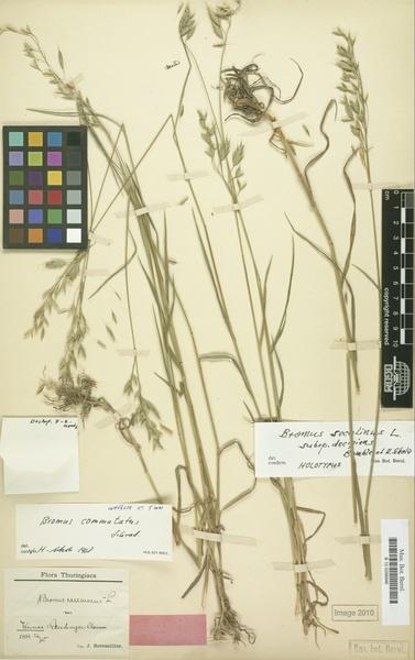 Bromus commutatus Schrad. subsp. decipiens (Bomble & H.Scholz) H.Scholz
