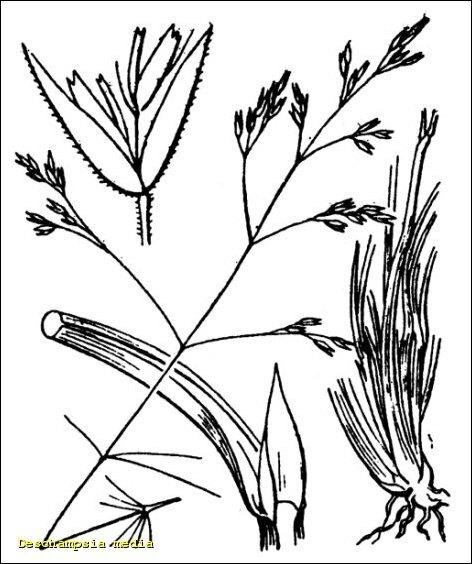 Deschampsia media (Gouan) Roem. & Schult. subsp. media