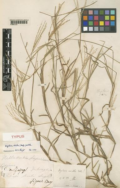 Digitaria debilis (Desf.) Willd.