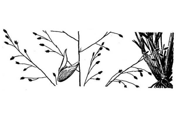 Eragrostis lugens Nees