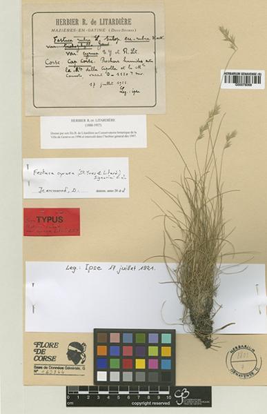 Festuca cyrnea (Litard. & St.-Yves) Signorini, Foggi & Nardi