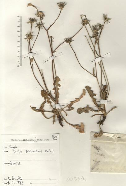 Crepis bivonana Soldano & F.Conti