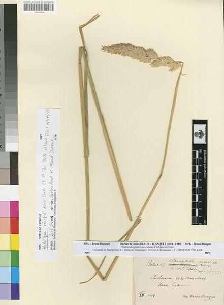 Phalaris elongata Braun-Blanq.