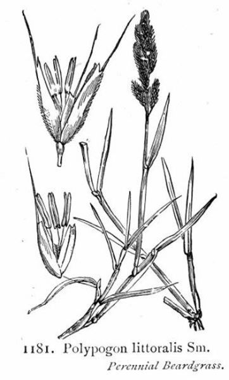 x Agropogon littoralis (Sm.) C.E. Hubb.