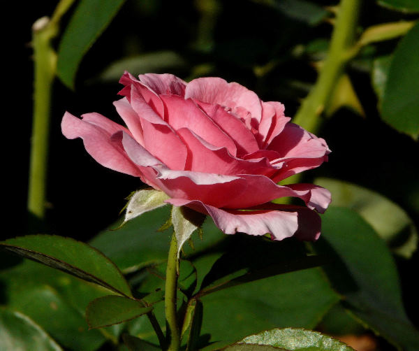 Rosa 'Tickled Pink'