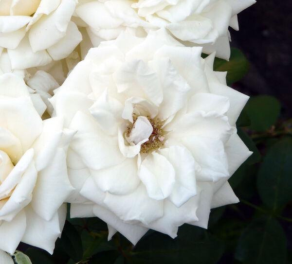 Rosa 'Henri Salvador ®'