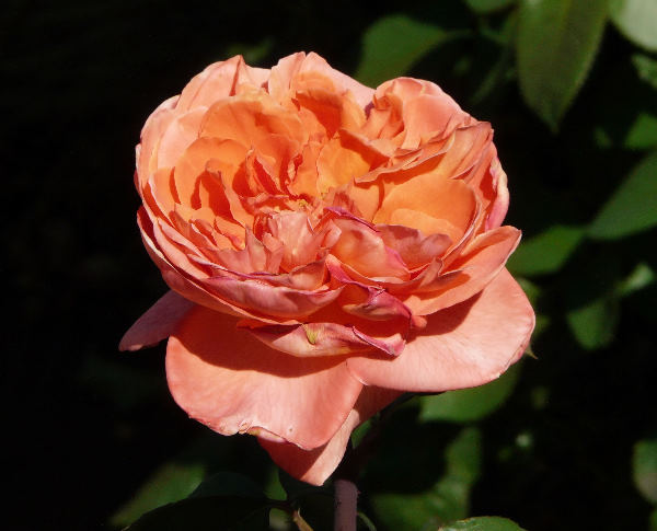 Rosa 'Reflêt de Saint-Malo'