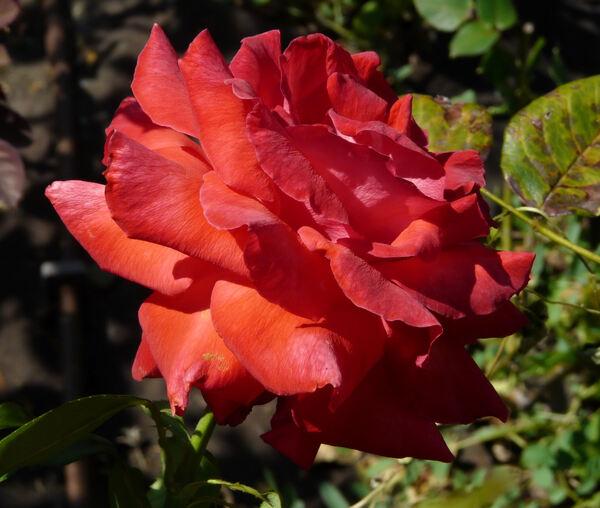 Rosa 'Camara ®'