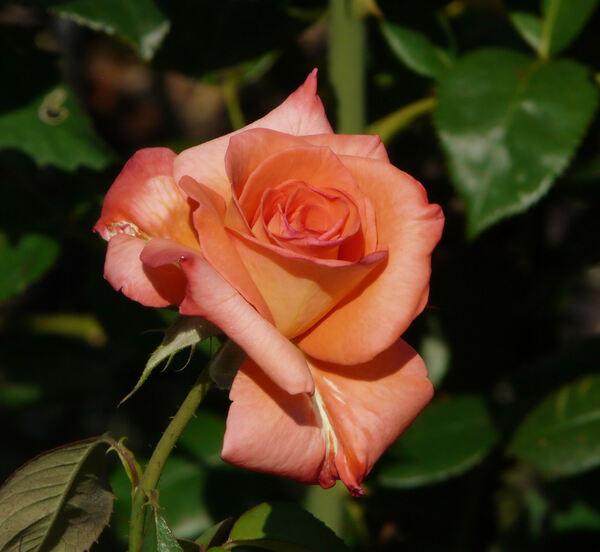 Rosa 'Mosaïque'