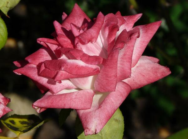 Rosa 'Altesse 75 ®'