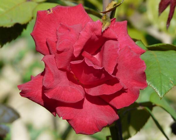 Rosa 'Florentina'
