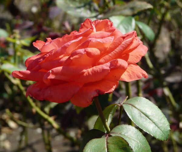 Rosa 'Angelus'