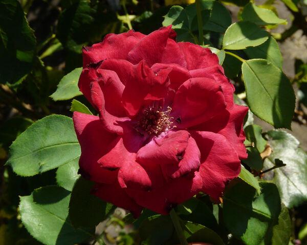 Rosa 'Madame Delbard ®'