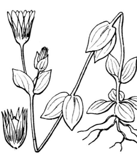 Blackstonia acuminata (W.D.J.Koch & Ziz) Domin subsp. acuminata