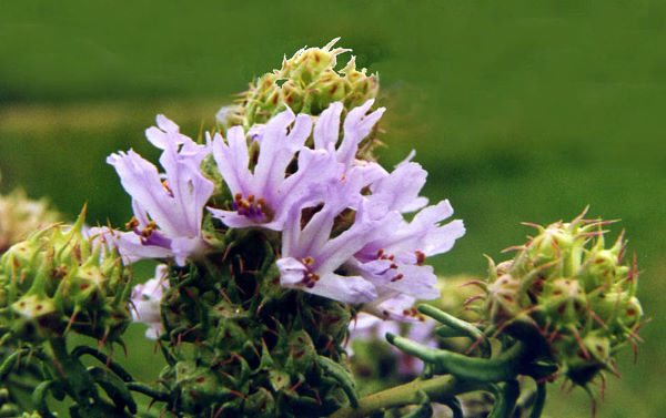Coris monspeliensis L. subsp. monspeliensis