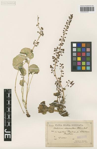 Umbilicus chloranthus Heldr. & Sartori ex Boiss.