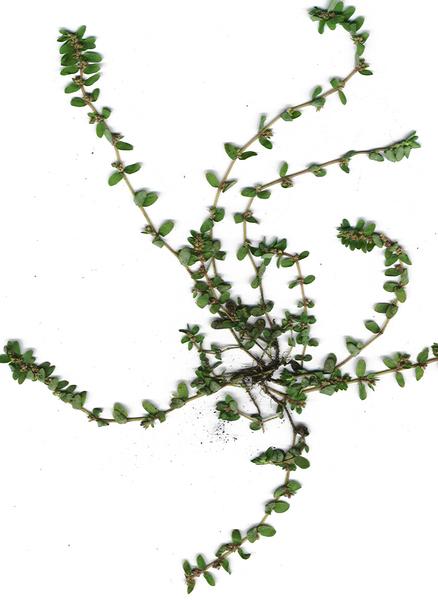 Euphorbia thymifolia L.