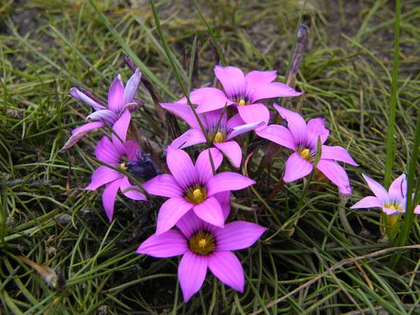 Romulea rosea (L.) Eckl.