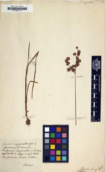 Juncus marginatus Rostk.