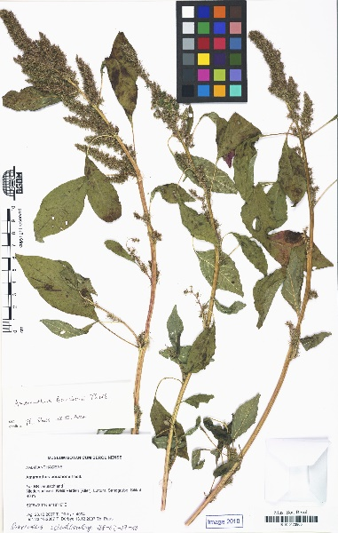 Amaranthus bouchonii Thell.