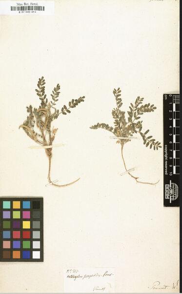 Astragalus scorpioides Willd.