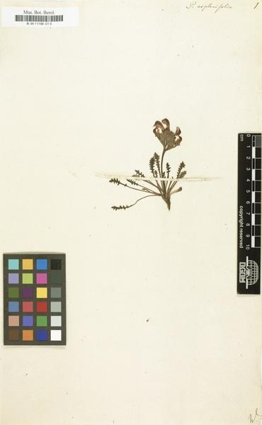 Pedicularis aspleniifolia Flörke ex Willd.