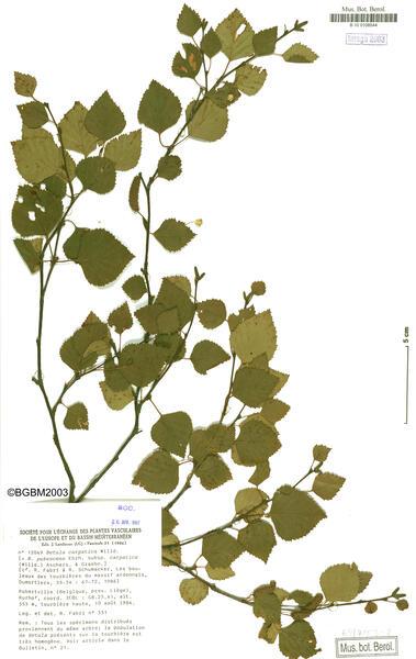 Betula pubescens Ehrh. subsp. carpatica (Willd.) Asch. & Graebn.
