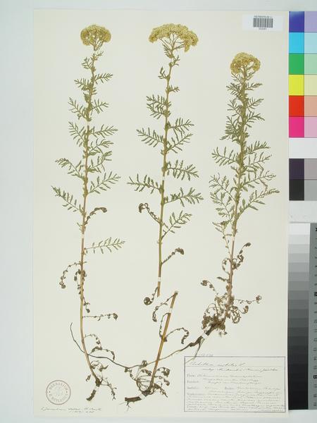 Achillea nobilis L. subsp. neilreichii (A.Kern.) Velen.