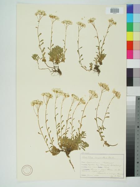 Achillea rupestris Huter, Porta & Rigo subsp. rupestris
