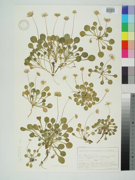 Bellium crassifolium Moris